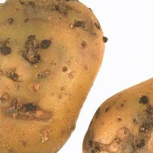 E as patacas também som cousa de Madrid