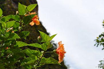 23 aguas calientes hibiscus