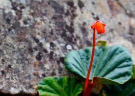 74 machu picchu flower begonia veitchii
