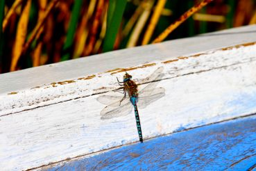 48 lake titicaca dragonfly