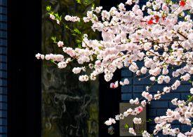 09 dc cherry blossoms