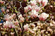 15 dc magnolias