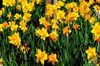 23 daffodils
