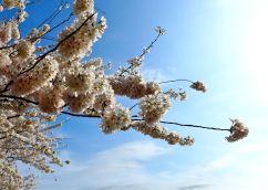 43 washington dc cherry blossoms
