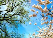 44 washington dc cherry blossoms