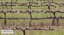 Grapevine waiting the next growth season.