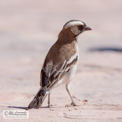 White-browned Sparrow-weaver - Valkokulmakutoja