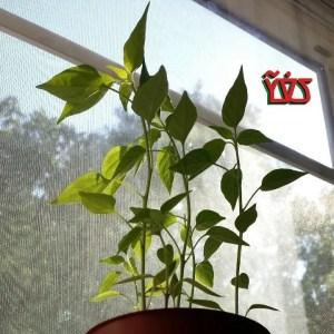 JP005 rises like my pepper seedlings!