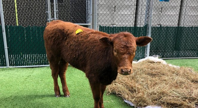Slaughterbound Calf Escapes on Expressway, Earning New Name and a Life of Leisure