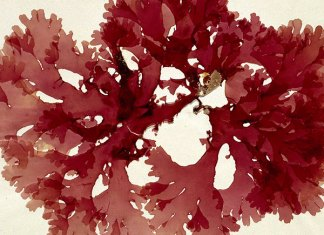 Olufemikusa red algae aricle