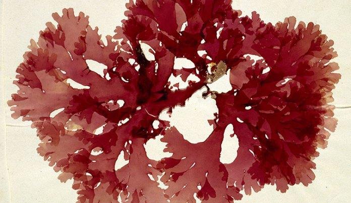 Olufemikusa red algae aricle