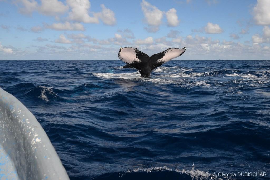 baleine république dominicaine olympiaonboard