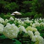 鎌倉・浄妙寺のアジサイ(2019年)◆境内花巡り◆石窯ガーデンテラス