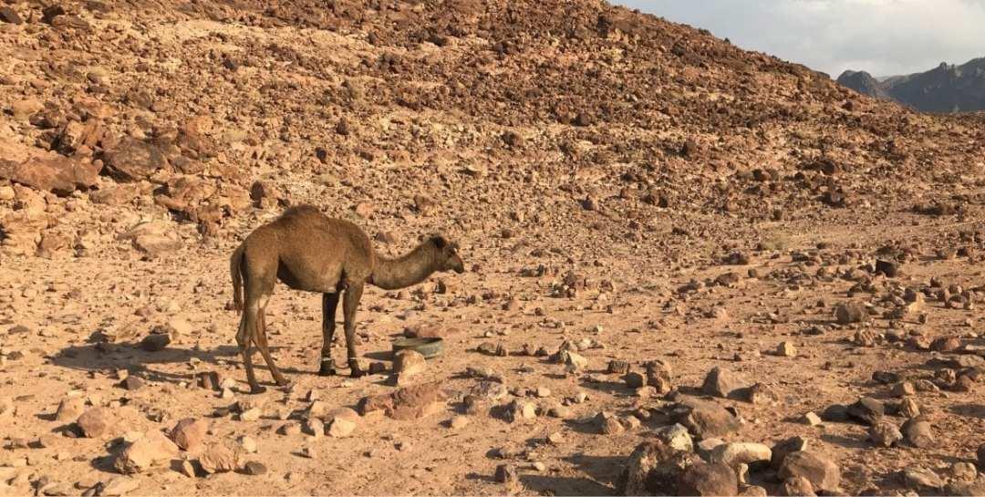 Jordan Trail - camel alert.