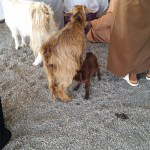 A baby goat at the auction!