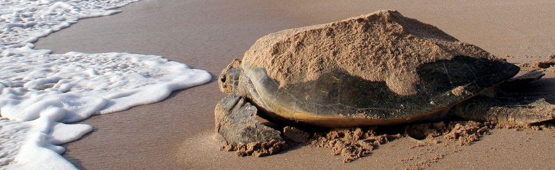 Lessük meg a teknősöket Ras al Jinzben!