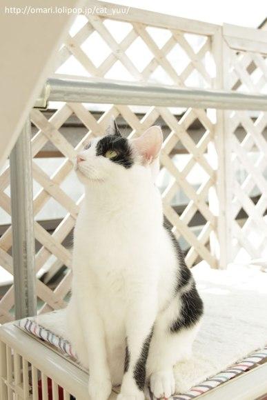 梁を見つめるアシンメトリーハチワレ猫 その2