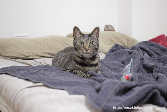 ベッドの上でおすましのキジトラ猫のゆう