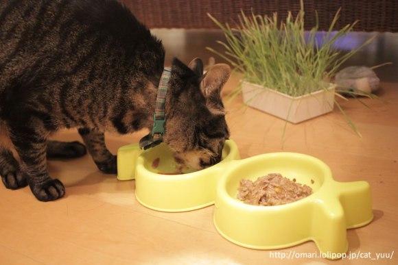 モンプチのスープを夢中で食べるキジトラ猫のゆう