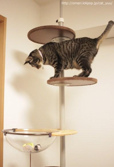 クリアなハンモックを見つめるキジトラ猫のゆう