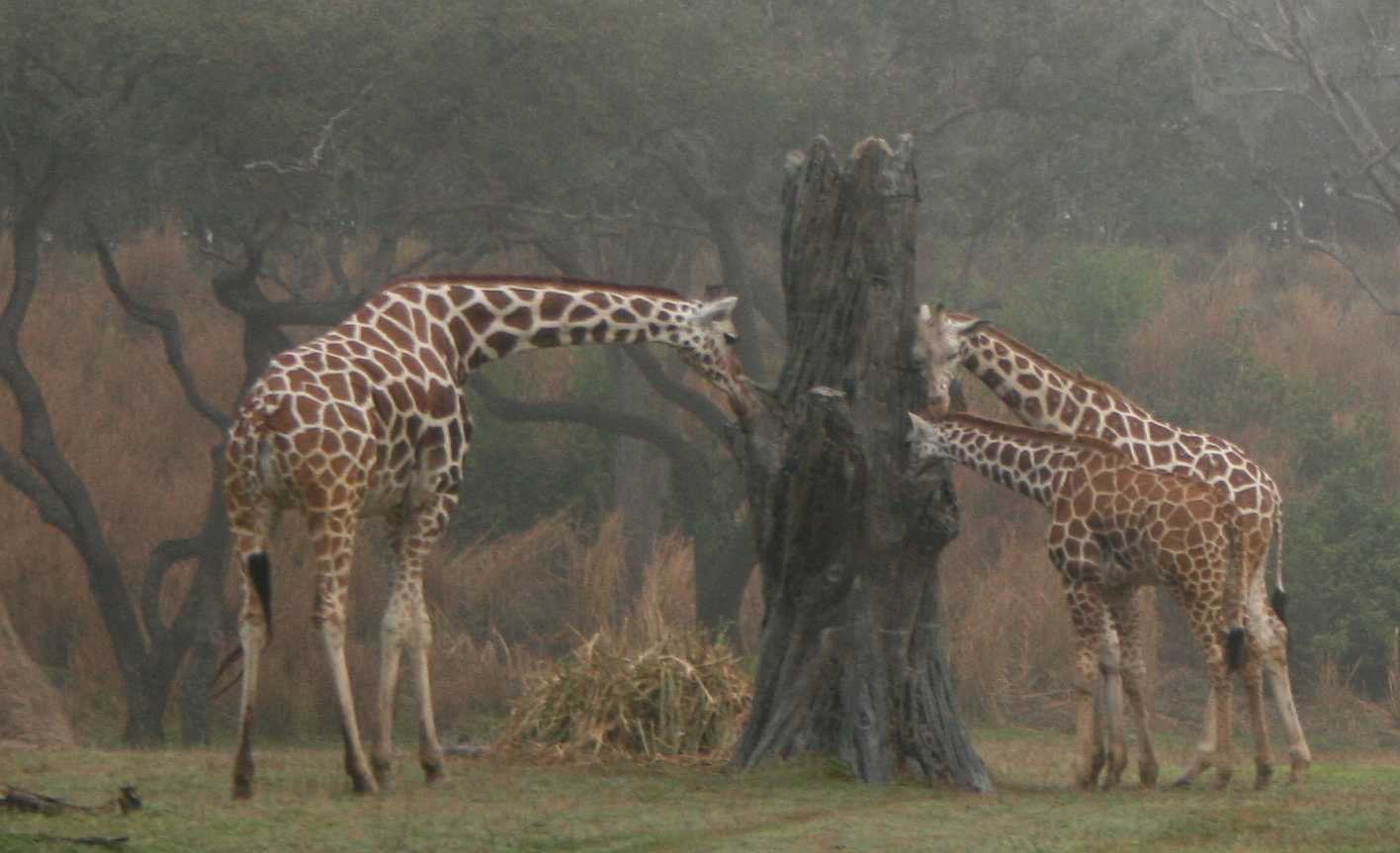 img_0127-giraffes