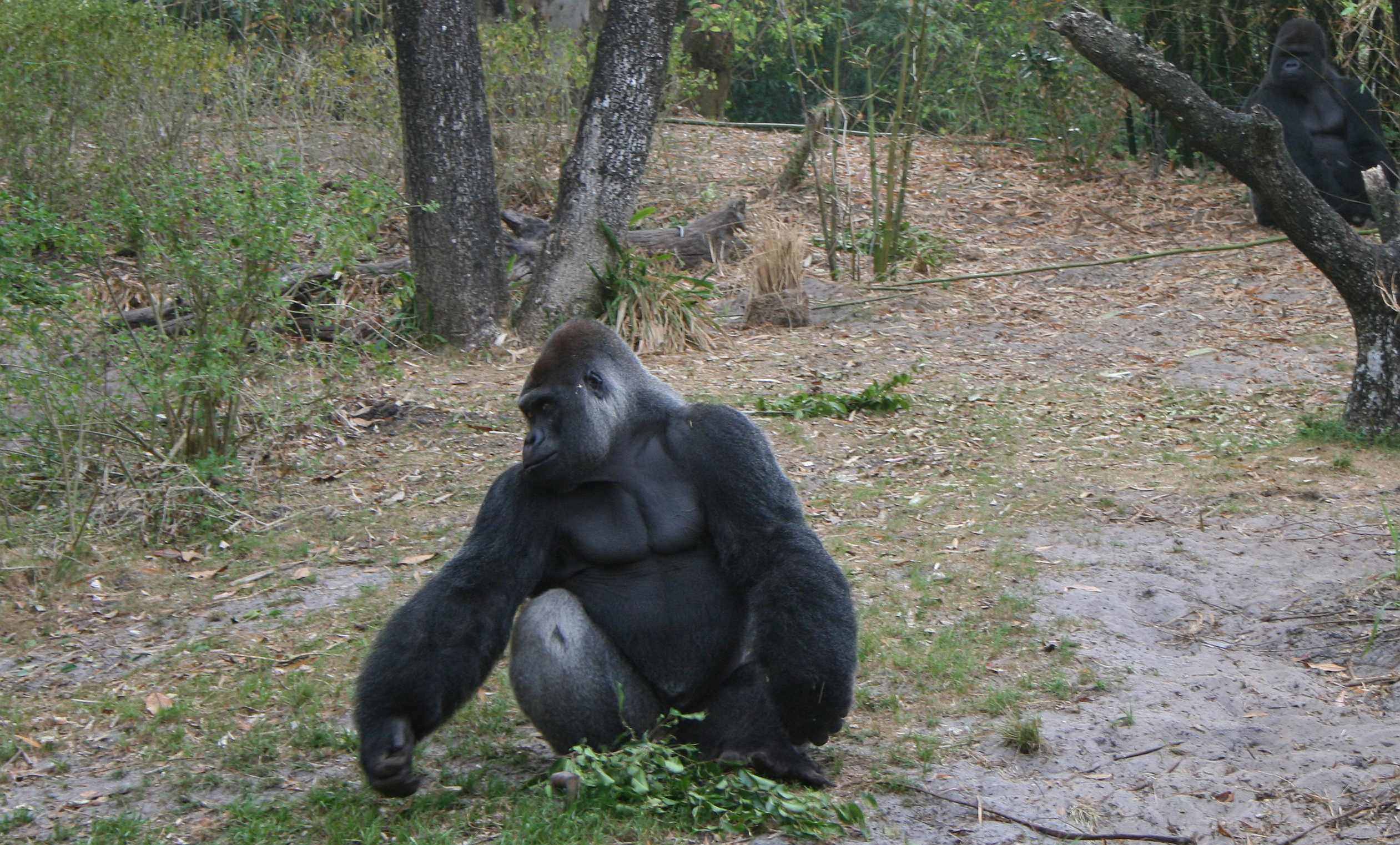 img_0165-gorilla-with-forearms