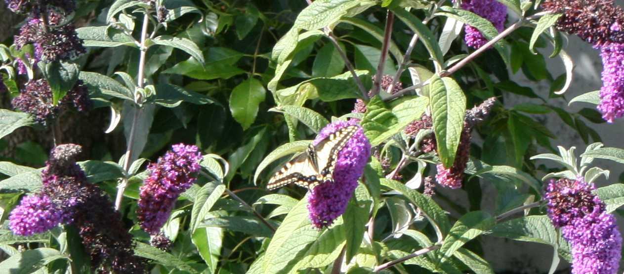 20090621_swallow wings spread