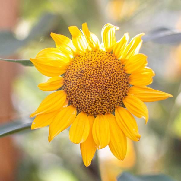 sunflower shining in the sun