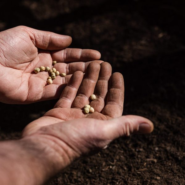 Two hands palm open holding pea seeds