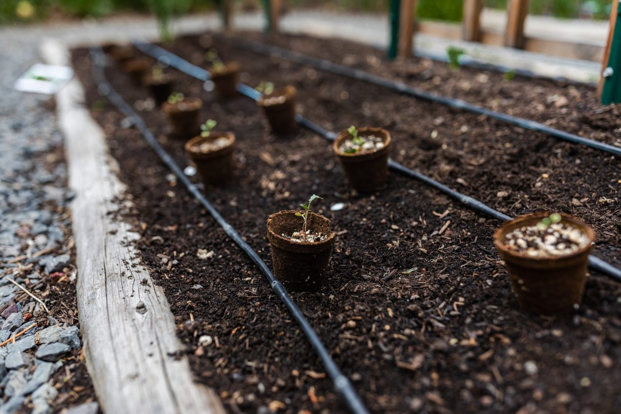 Transplants ready to be planted in a row