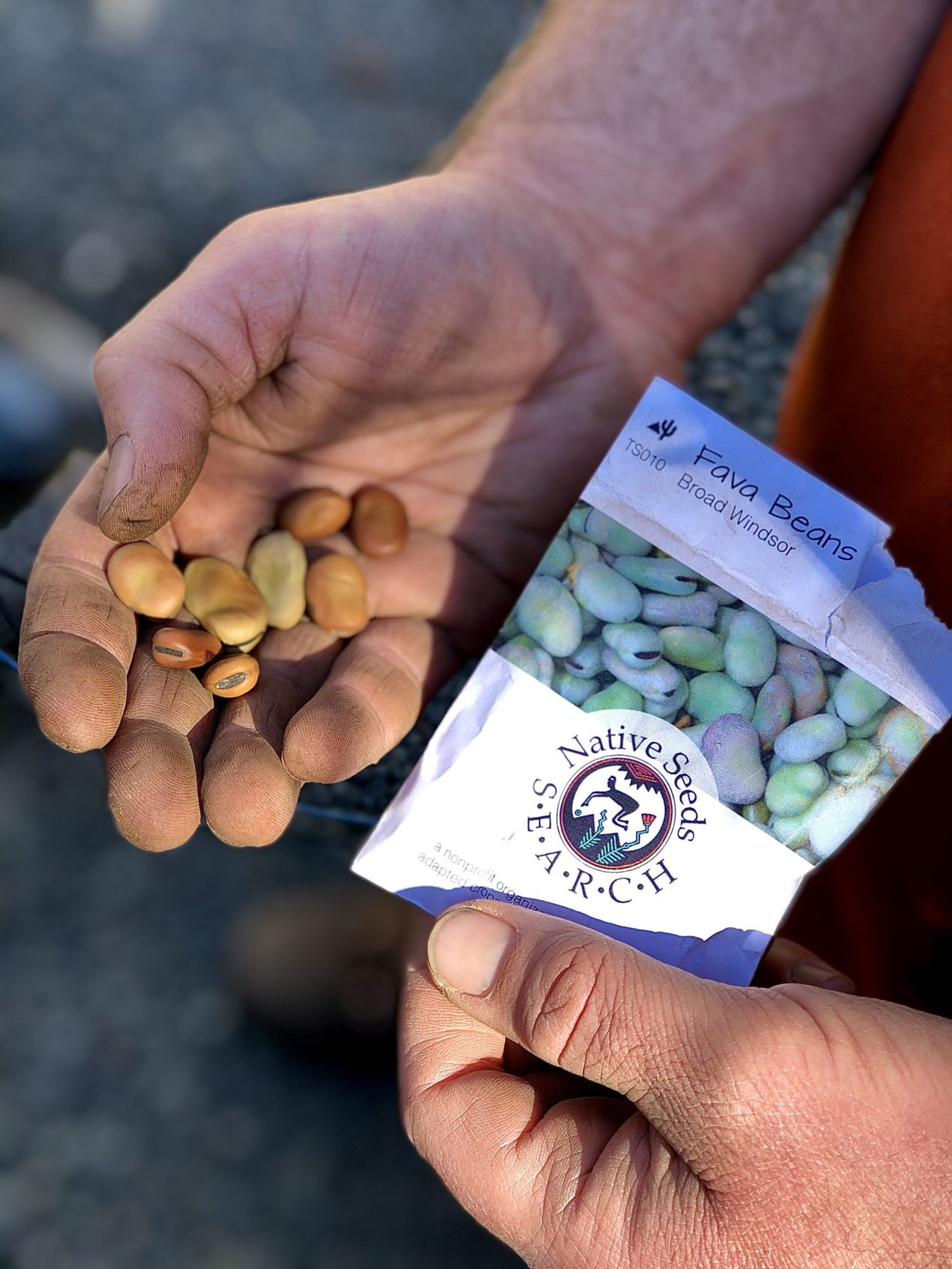 One hand holding a seed packet that reads Fava Beans with Native Seeds Search packaging and the other hand holding the seeds palm up