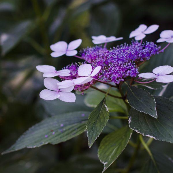 Hydrangea flower at the Butchart Gardens