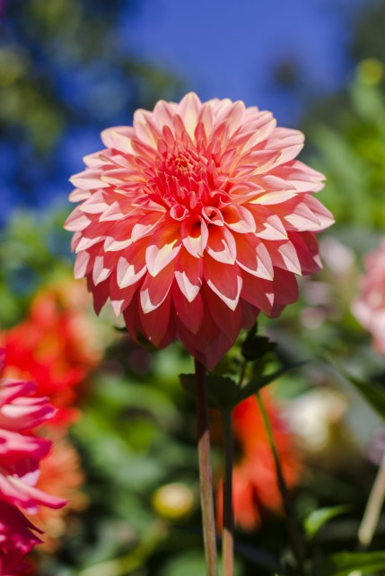 pink dahlia flower in the sun at the Butchart Gardens