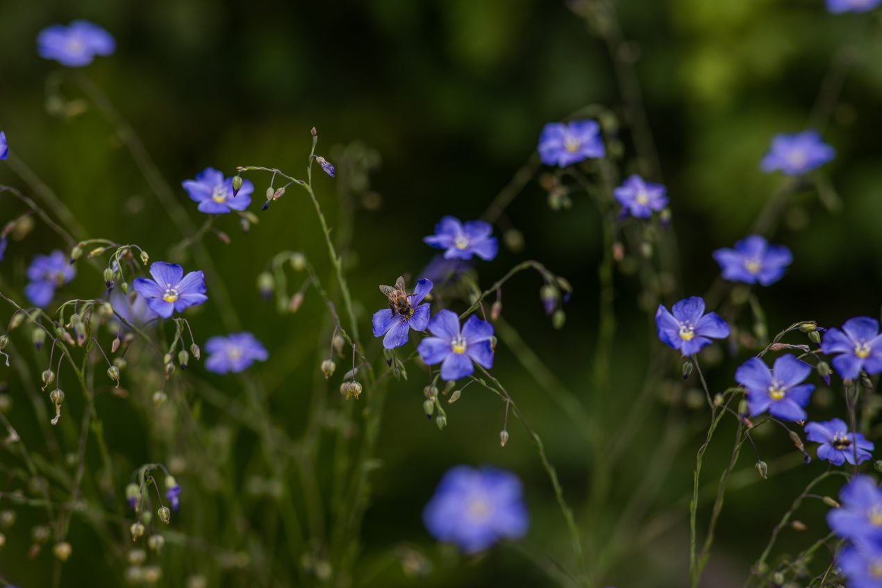 Blue flax with bee how to plant wildflowers