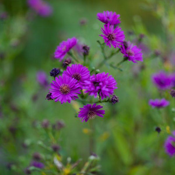 Alert Aster in autumn garden