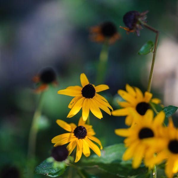 Black Eyed Susan in bloom