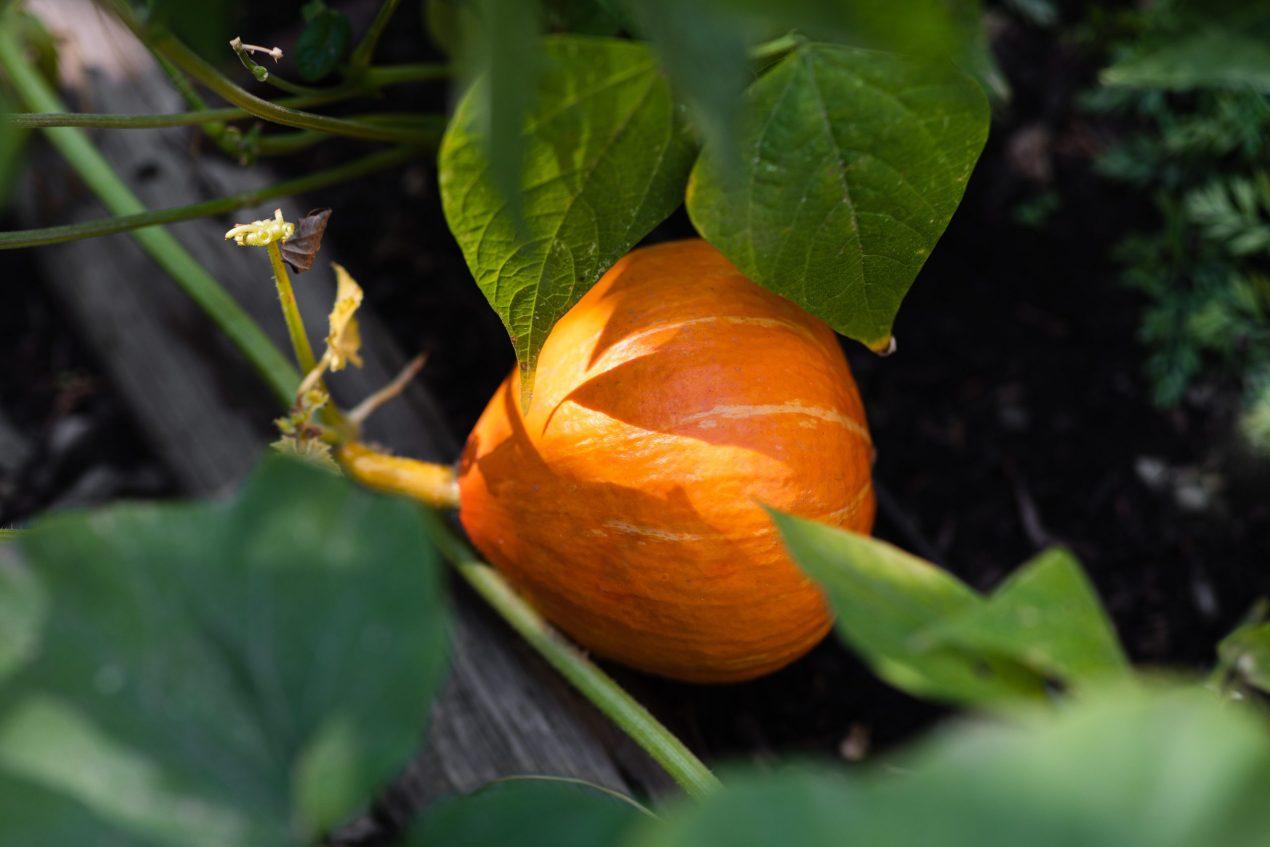 pumpkin potimarron winter squash