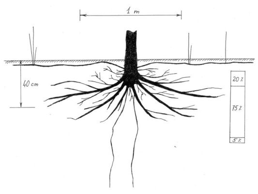 Growing Sea Buckthorn - sea buckthorn root system diagram