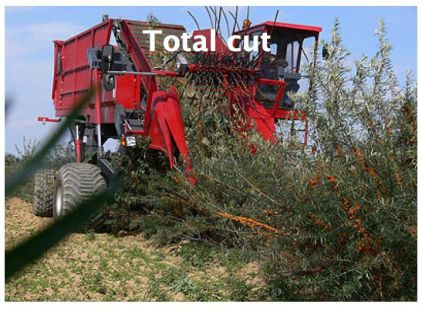 THE IMPORTANCE OF PRUNING SEA BUCKTHORN. -total cut harvest