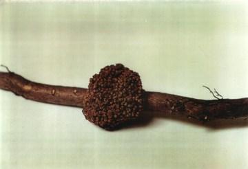 Cultiver l'argousier - nodules de frankia