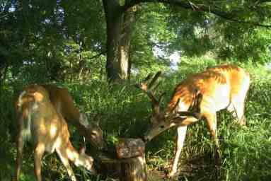 Whitetail deer licking salt lick