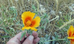 Possibly Glaucium flavum - some kind of poppy...