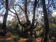 kursun-old-tree