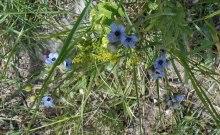 little-blue-flowers-2
