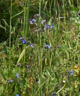 little-blue-flowers