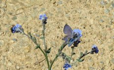 blue-butterfly