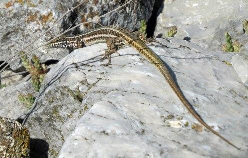 lizard-3
