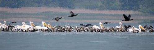 pelican-banner-2