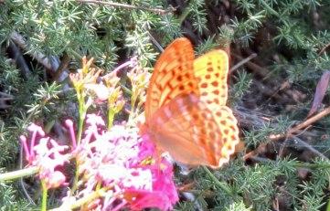 portakal-kelebek-2