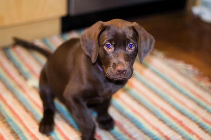 puppy eyes dog
